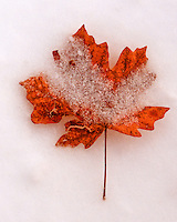 A leaf in the snow in the Santa Catalina Mountains north of Tucson, Arizona.