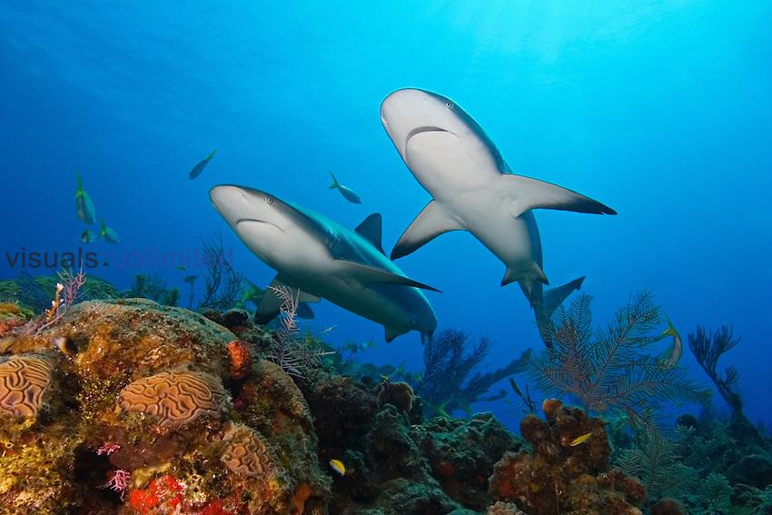 Caribbean Reef Sharks, Carcharhinus perezi, swimming over coral reef, West End, Bahamas, Atlantic Ocean