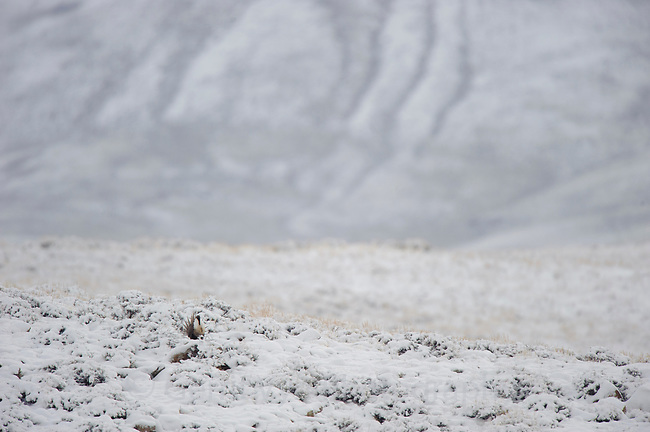 A male Gunnison Sage Grouse (Centrocercus minimus) displaying on a snowy ridge after being displaced from its lek by a hunting Golden Eagle. Gunnsion County, Colorado. April.