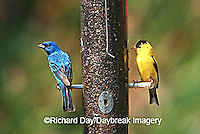 00585-026.06 Indigo Bunting (Passerina cyanea) & American Goldfinch (Carduelis tristis) male at nyjer feeder Marion Co. IL