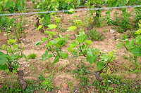 gamay vineyard domaine du vissoux beaujolais burgundy france