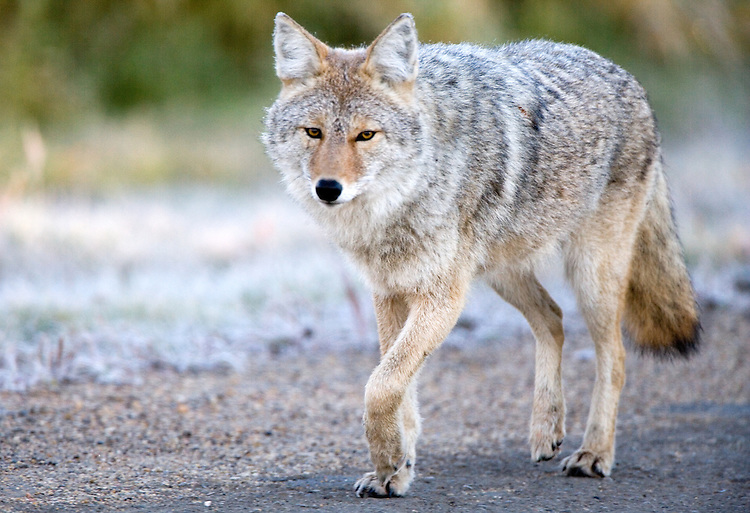 Coyote trotting along the main road at Elk Island National Park