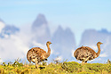 Pair of Darwin's rheas (Pterocnemia pennata). Torres del Paine National Park, Patagonia, Chile.
