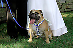 Bull dog with wedding party