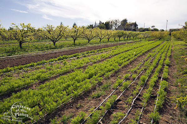 Alley farming allows for multiple crops to be planted alongside each other, maximizing the the most efficient use of land. The Center for Urban Agriculture at Fairview Gardens is one of the oldest organic farms in California. Located on 12 acres, the 100-year-old farm provides the community with organic fruits and vegetables and through educational programs and public outreach demonstrate the economic viability of sustainable agricultural methods. Goleta, California