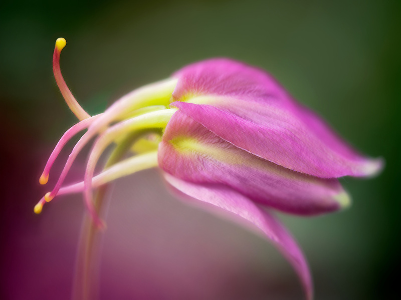 Close up of Columbine bud. Oregon