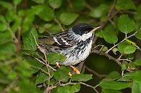 591510019 a wild male blackpoll warbler setophaga striata - was dendroica striata - in breeding plumage perches in a large bush on south padre island texas united states