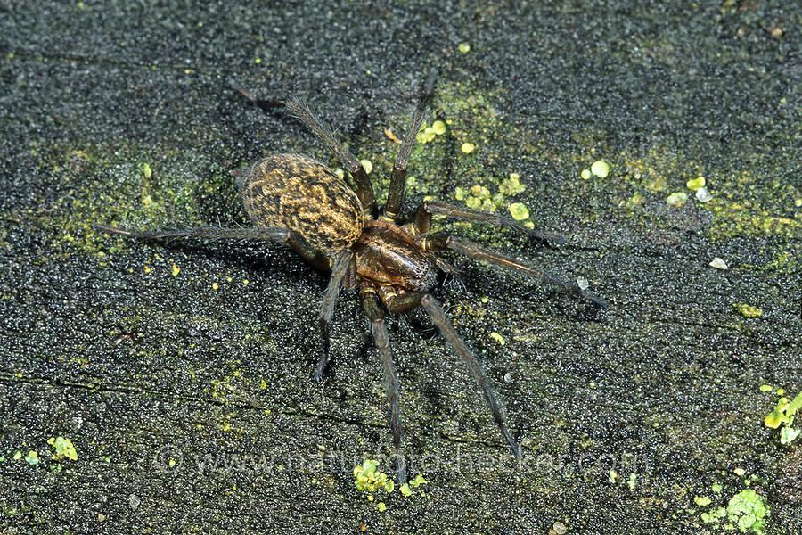 Feldwinkelspinne, Feld-Winkelspinne, Eratigena agrestis, Tegeneria agrestis, hobo spider, Winkelspinnen, Trichterspinnen, Agelenidae