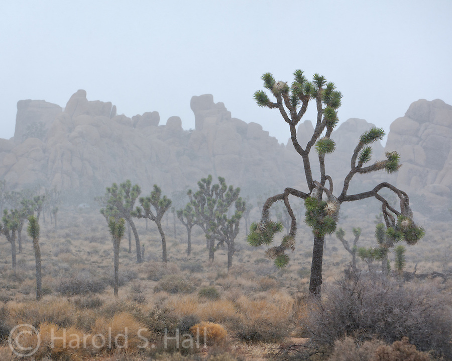 A rare snow fall among Joshua trees in Joshua Tree National Park.