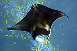 fish, Maldives, Manta birostris, Manta ray, tropical