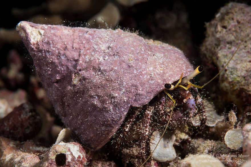 Marovo Lagoon, Solomon Islands; a Dardanus sp. hermit crab with a pink shell moving across the coral reef