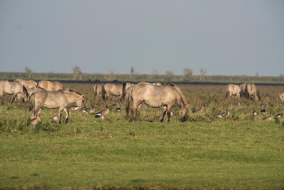 Konik (Equus caballus), kudde in de OostvaardersplassenKonik (Equus caballus), kudde met Grauwe gans (Anser anser) in de Oostvaardersplassen