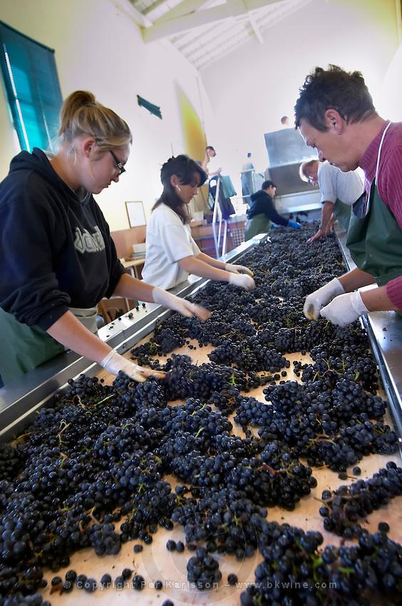 merlot grape sorting table chateau phelan segur st estephe medoc bordeaux france