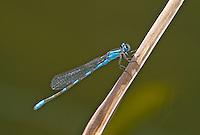 320240005 a wild familiar bluet enallagma civile perches on a cattail reed along piru creek in los angeles couny california