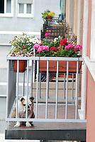 un bulldog al balcone