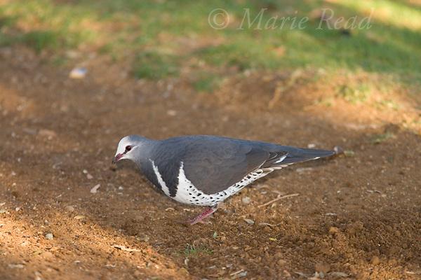 Wonga Pigeon (Leucosarcia melanoleuca), Lamington National Park, Queensland, Australia