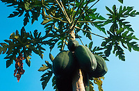 INDIA papaya fruit at tree / Indien Papaya Baum Früchte Tropenfrucht Frucht Obst