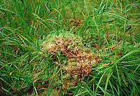 Sphagnum moss by Lake Kaniere conservation area, Hokitika,  South Island,New Zealand