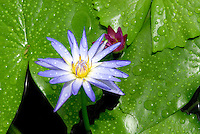 .Known by a number of names, the Lotus is an aquatic perennial and has been a divine symbol in Asian traditions for centuries. The lotus plays a very important part in Thai life. The flower's rich symbolism has embellished Thai literature since ancient times and Thai Buddhists always use the lotus in paying homage to the image of the Buddha..