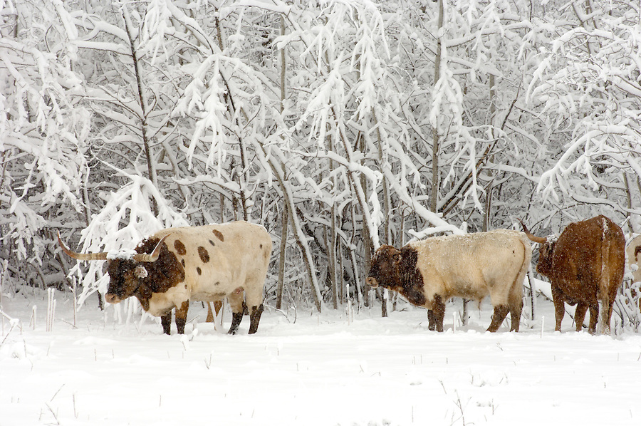Herd of longhorn cattle in pasture near snow covered treeline during snow storm.