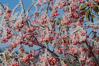 Europäisches Pfaffenhütchen, Früchte mit Reif, Raureif, Frucht, Gewöhnlicher Spindelstrauch, Pfaffenkäppchen, Euonymus europaeus, common spindle, European spindle, fruit, hoarfrost, hoar frost, Le Fusain, Fusain d'Europe