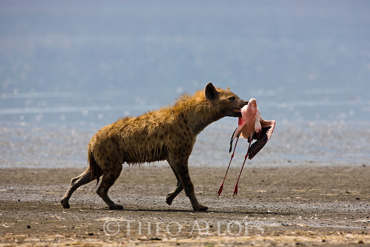 Spotted hyena (Crocuta crocuta) carrying a freshly killed lesser flamingo, Lake Nakuru National Park, Kenya