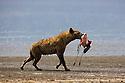 Spotted hyena (Crocuta crocuta) carrying a freshly killed lesser flamingo, Lake Nakuru National Park, Kenya