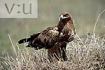 Steppe Eagle,Aquila rapax nipalensis, eating ants on the ground. Masai Mara Game Reserve, Kenya