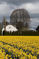 Daffodils, Skagit Valley, Washington, agriculture.