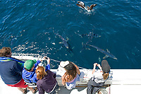 blue shark, Prionace glauca, tourists on boat, ecotourism, Cape Point, South Africa, southern Afrca