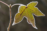 American Sweetgum (Liquidambar styraciflua), leaf frost covered, Lillington, North Carolina, USA