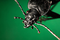 Lederlaufkäfer, Leder-Laufkäfer, Lederkäfer, Portrait mit beißend-kauenden Mundwerkzeugen, Mundwerkzeuge, mit kräftigen Mandibeln, Mandibel, Carabus coriaceus, leatherback ground beetle, leather beetle