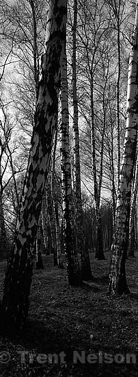 trees. Auschwitz/Birkenau<br />