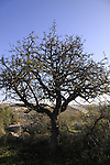 Israel, Shephelah, Syrian Pear tree on Sher Hill