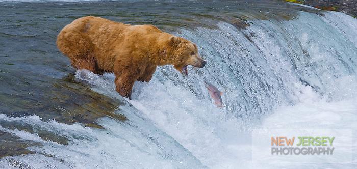 Brown Bear fish for salmon at Brooks falls, Katmai National park, Alaska.
