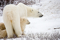 01874-109.13 Polar Bears (Ursus maritimus) female & 2 cubs near Hudson Bay, Churchill  MB, Canada