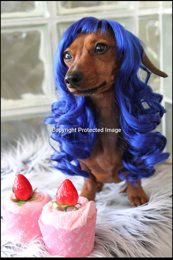 BNPS.co.uk (01202 558833)<br /> Pic: Cushzilla/BNPS<br /> <br /> ***Please use full byline***<br /> <br /> Katy Perry wig.<br /> <br /> A barking-mad designer has launched a range of wigs that turn pets into pop princesses including Katy Perry, Lady Gaga, Britney Spears and even Dolly Parton.<br /> <br /> Dogs and cats can also be dressed up as dragons, pilots, wizards or Prince Charming thanks to Leah Workman's wacky creations.<br /> <br /> The 40-year-old from Los Angeles spotted the trend of dressing up pets while studying in Japan - and later teamed up with husband Hiroshi Hibino to launch company Cushzilla.<br /> <br /> The pair instantly set tails wagging around the internet with their bonkers brand of pet fashion, which also features Sharon Osbourne and Sid Vicious wigs and cow and tiger costumes.<br /> <br /> Leah imports the high quality handmade wigs while costumes come from famous Japanese pet clothing designer Takako Iwasa.<br /> <br /> She says the most popular wig is the Lady Gaga, while the pilot's outfit tops the popularity charts in the costume department.<br /> <br /> Her own cats Jitters and Justus model many of the products on the company's website.