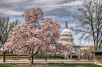 US Capitol Washington DC Cherry Blossoms Jefferson Memorial Tidal Basin Washington DC Cherry Blossoms blooming around the Tidal Basin in Washington, DC symbolize the natural beauty of our nation's capital city and has become part of Washington, D.C.'s rite of spring. Landmarks include the Jefferson Memorial, Washington Monument, and US Capitol. A popular tourist attraction and travel destination for many visiting Washington, D.C.