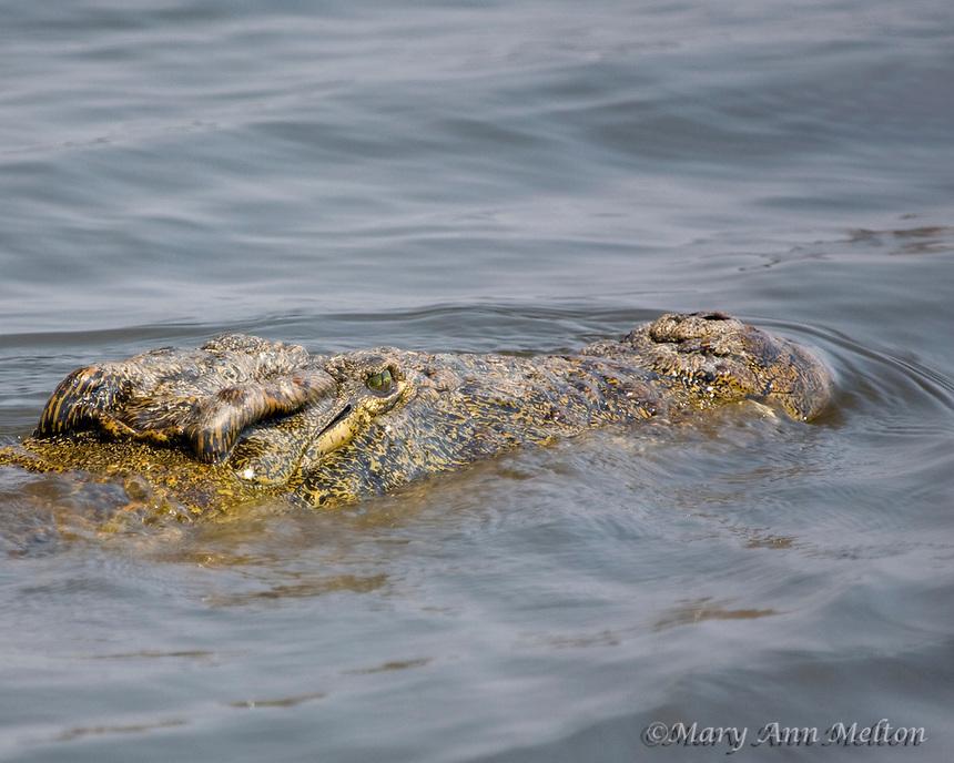 Nile Crocodile (Crocodylus niloticus) swimming in the Chobe River; Nambia
