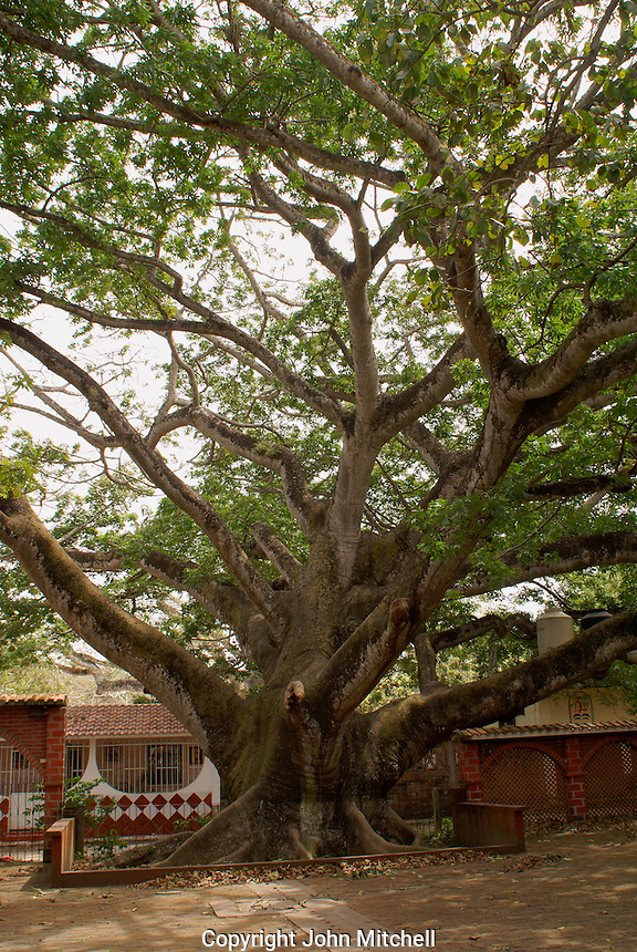 Giant Ceiba (silk cotton) tree in the village of La Antigua, Veraceuz, Mexico. Hernan Cortes may have moored his boats to this tree in the 16th century.
