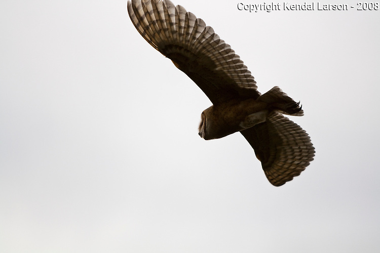 A barn owl takes flight near dusk, its sharp talons trailing just behind its tail feathers.