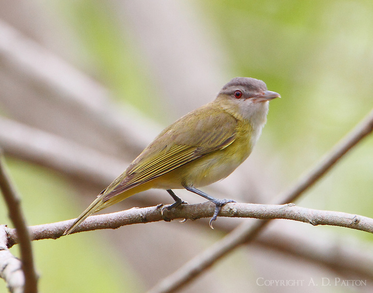 Adult yellow-green vireo