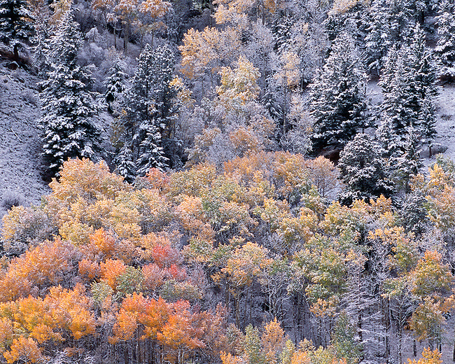 frost, evergreen trees, aspen trees, autumn, fall, mountainside, Rocky Mountains, Colorado, abstract