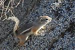 whitetail antelope squirrel