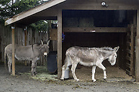 February 26, 2004 : A pair of donkey's recoup in a pen after being taken to the Bainbridge Island Animal Sanctuary.  Animals rescued or found injured are taken to this animal sanctuary until a home can be provide in Kitsap County, Washington.