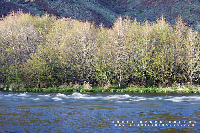A line of alder glow in the evening sun along the Deschutes River, Oregon.