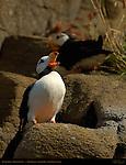 Puffin Opera, Horned Puffin, Duck Island, Puffin Island, Tuxedni Bay, Cook Inlet, Alaska