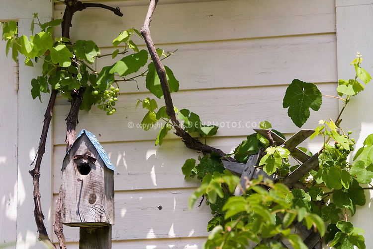 Bird house with license plate roof attached to post in front of house, with grape vine Vitis visible