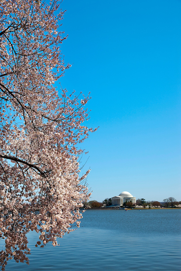 The Jefferson Memorial is seen through the cherry blossoms blooms on trees along the tidal basin and mall in Washington.   Each spring over a million tourists come to the Nation's Capitol to see the 3,000 cherry trees in bloom, a gift from Japan in 1912.