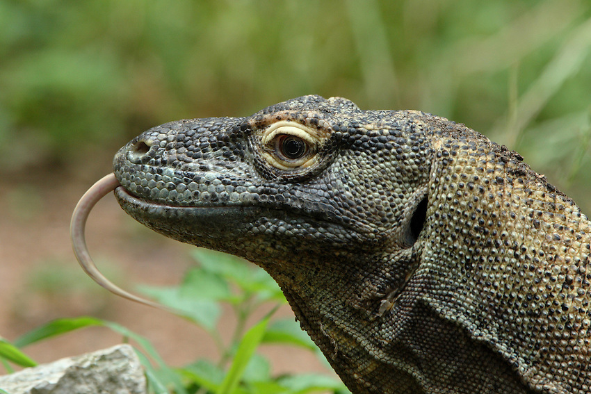 Komodo dragons are the world's heaviest living lizards. They can grow to a length of 10 feet (over 3 meters), with an average length of 8 feet (2.5 meters)